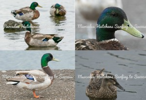 Photographs: Ducks and Geese